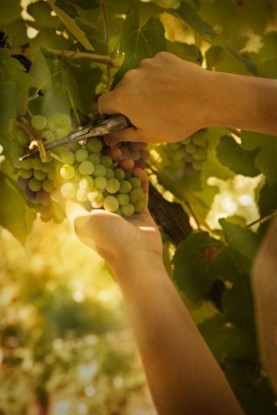 Ручной сбор урожая