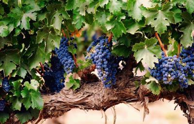 виноградные грозди черный1