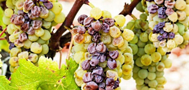 vinograd-zarazhennyiy-plesenyu