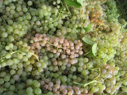 Виноград Гарганега (вино Соаве)