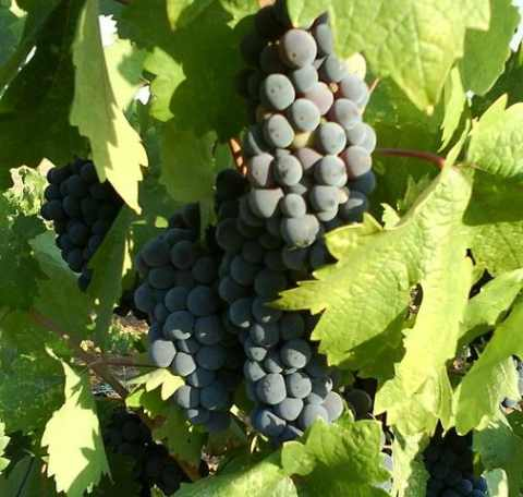 Zinfandel_grapes